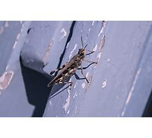 Grasshopper on a Deckchair in Albania - Animal Photography Photographic Print