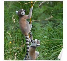 Tho baby Lemurs running away - Photography Poster