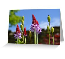 Primula Flowers Greeting Card