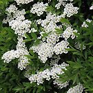 Pretty White Spirea Blossoms by kathrynsgallery
