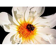 The Humble Bumble Photographic Print