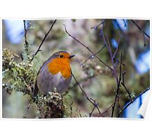 Robin in breeding plumage Poster