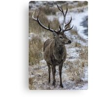 Twelve Point Stag in the Snow Canvas Print