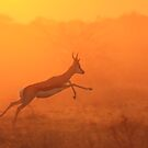 Springbok - Jumping for Gold - African Wildlife by LivingWild