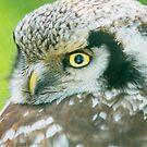 Northern Hawk Owl by Dominika Aniola