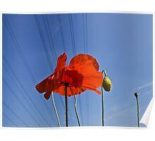 Wired Poppy Poster