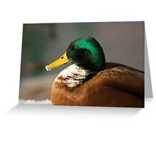 Male Mallard Greeting Card