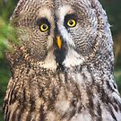 Great Grey Owl by Dominika Aniola