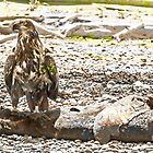 Immature Bald Eagle on Sea Lion by Yukondick