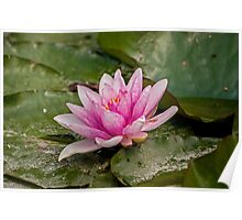 Water Lily (1) Poster