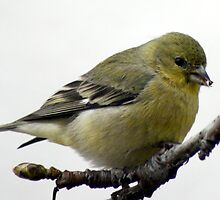 Female Goldfinch snack; La Mirada, CA USA by leih2008