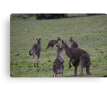 Kangaroos Side road Eltham north Victoria Australia 20160618 7145 Canvas Print