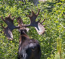 Big Moose Rack in RMNP by Shea Oliver