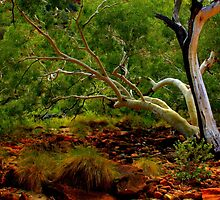 Ghost Gum in the Red Centre by myraj