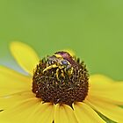 Pollen Pollen Everywhere - Solitary Bee on Black Eyed Susan Wildflower by MotherNature