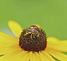 Pollen Pollen Everywhere - Solitary Bee on Black Eyed Susan Wildflower by MotherNature