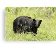 Black bear in a green field Canvas Print