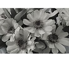 Yellow Brown Eyed Susan In Black And White  Photographic Print