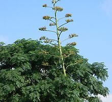 Heavy Bloom Stalk Leans on Tree by Navigator