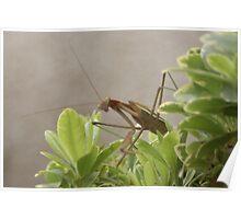 's Up?  Praying Mantis, My Garen; La Mirada, CA USA Poster