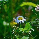 Daisy by Carolyn Clark