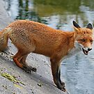 Young Red Fox by Robert Abraham