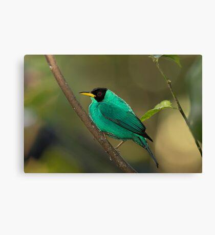 Green Honeycreeper - Costa Rica Canvas Print