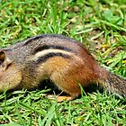 Chipmunk by crspix