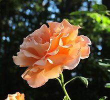 Sunset Celebration Rose by Pat Yager