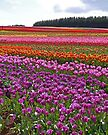 Table Cape Tulip Farm, Tasmania, Australia (2) by Margaret  Hyde