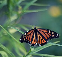 Monarch on the Green by autumnwind