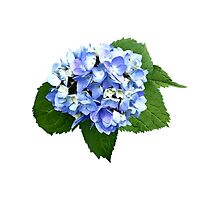 Blue and Purple Hydrangea by Susan Savad