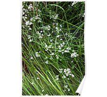 Hvite Blomster Poster