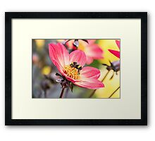 Bumble Bee collecting pollen from a flower Framed Print