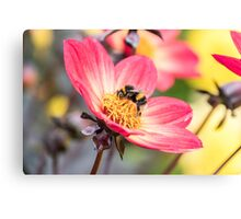 Bumble Bee collecting pollen from a flower Canvas Print
