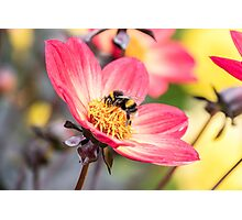Bumble Bee collecting pollen from a flower Photographic Print