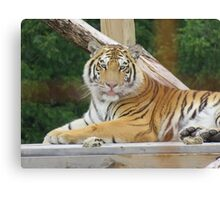 Silly Tiger Canvas Print