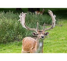 Fallow Deer with Antlers Photographic Print