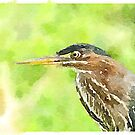 Green Heron by Caren