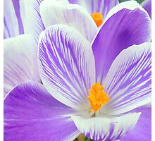 crocus abstract Photographic Print