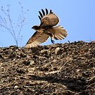 Red Tail Hawk Glides Hillside by DARRIN ALDRIDGE