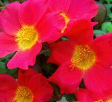 Portulaca, moss rose  Sticker