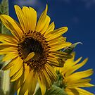 Sunflower At Burnside Farms by Lois  Bryan