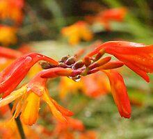 Crocosmia flowers by Joyce Knorz