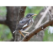 Mynah fledgling Photographic Print