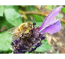 Hungry Bee - Lavender Photographic Print
