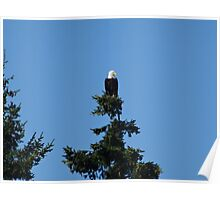 Eagle on Treetop Poster
