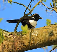 magpie sitting in a tree by Jicha