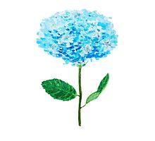blue hydrangea Photographic Print