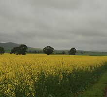Sea of canola, South of Auburn,2013 by elphonline